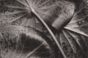 Sonya-Noskowiak-Water-Lily-Leaves 1931