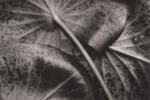 Sonya-Noskowiak-Water-Lily-Leaves 1931